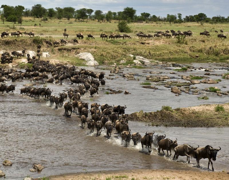 Wildebeest in the Serengeti
