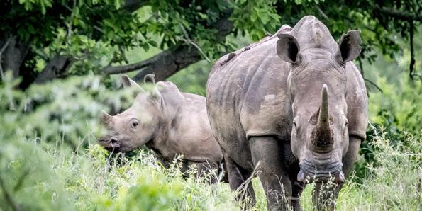 Rhino-Project-595px