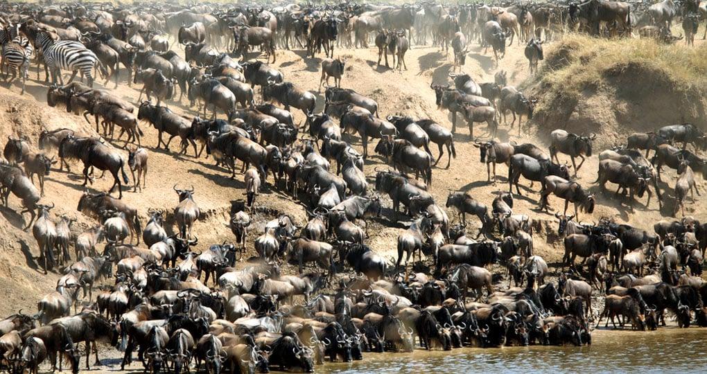 Maasai Mara Wildebeest Migration Safari, Kenya