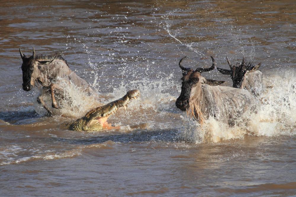 Wildebeest-chasing crocodile in Mara River, Masai Mara, Kenya