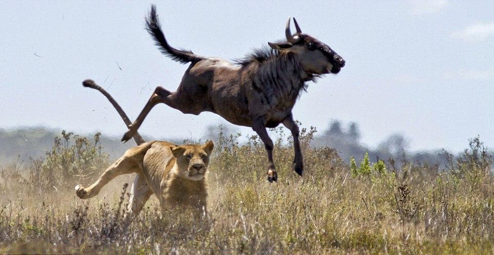 Wildebeest escapes