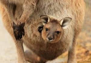 Kangaroo joey Australia 115607545