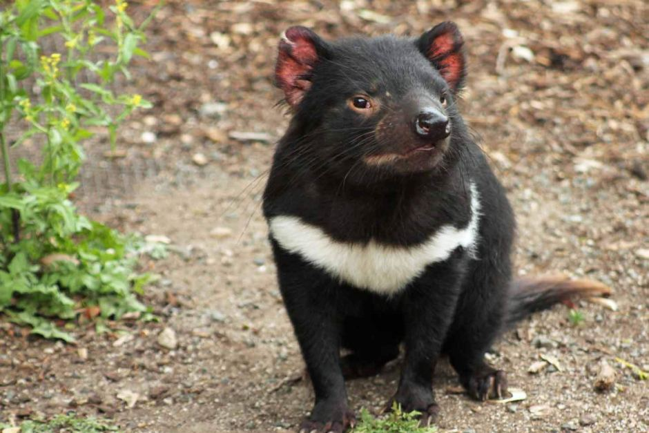 A healthy Tasmanian Devil. Photo credit ABC Local: Damien Larkins
