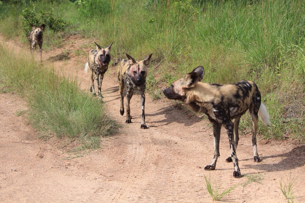 Some of the pack of African Wild Dogs