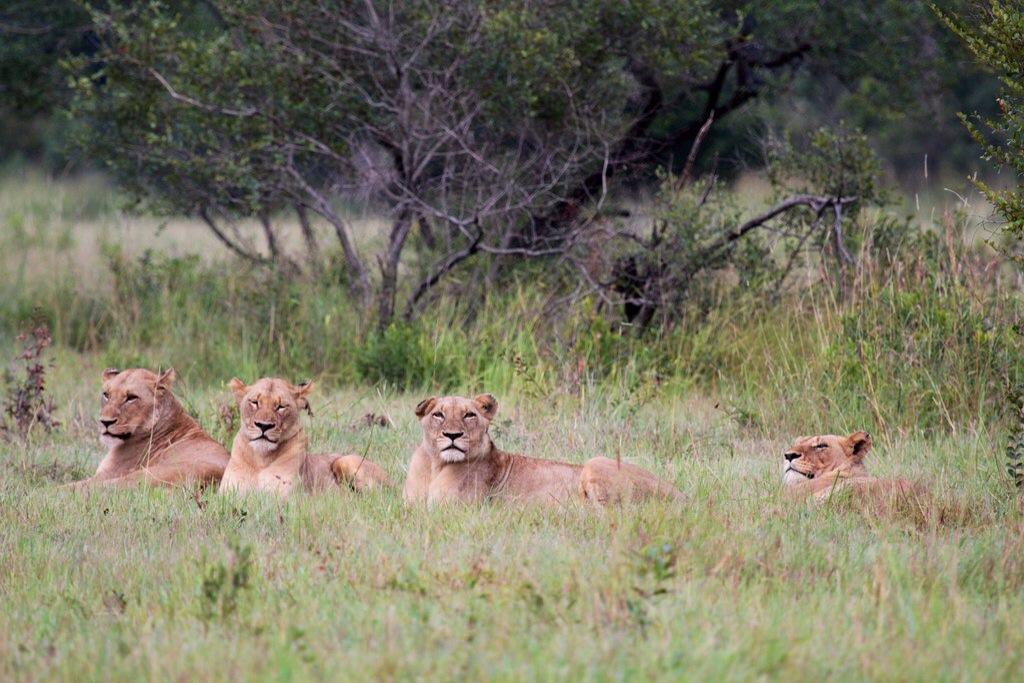 Some lionesses taking a rest