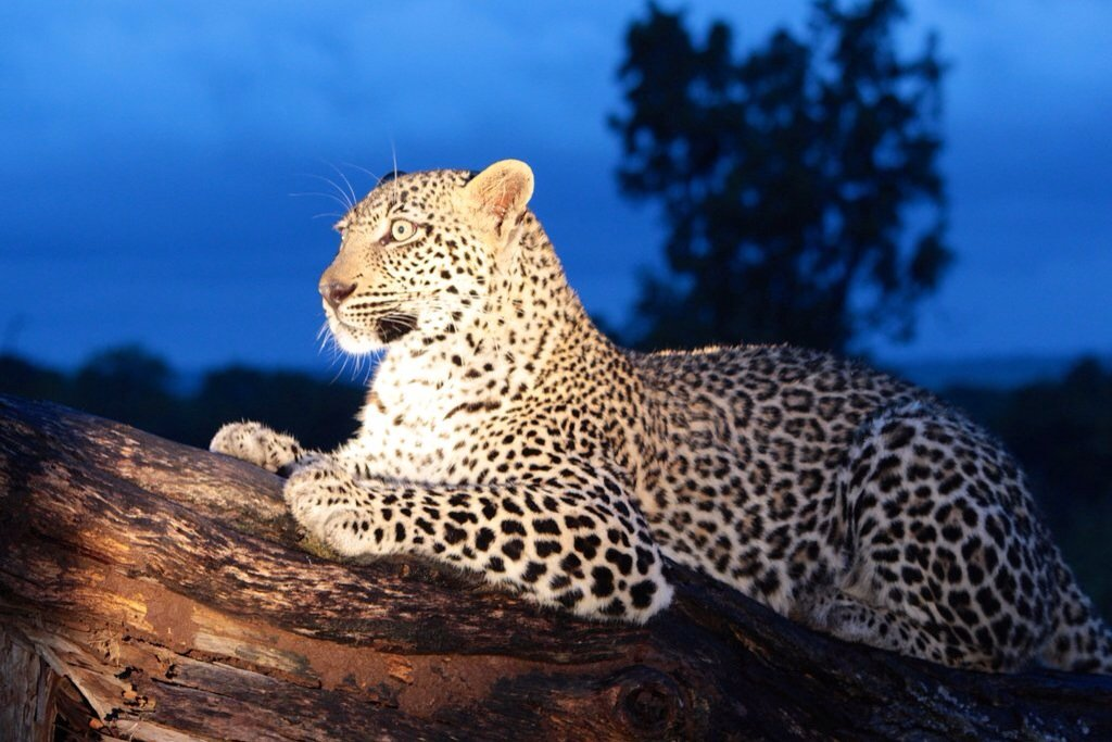 One of the hardest animals to ever see - the Leopard. We were so lucky!