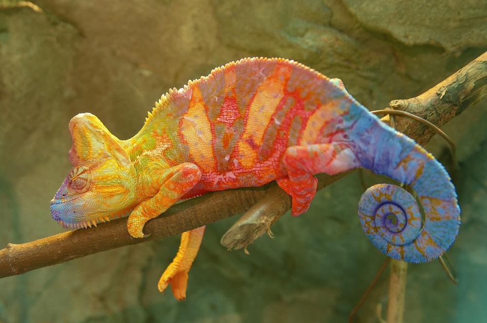 Madagascar - Chameleon on a branch