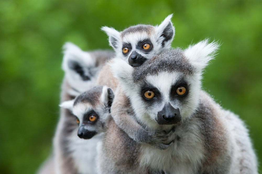A Ring-tailed Lemur and her babies