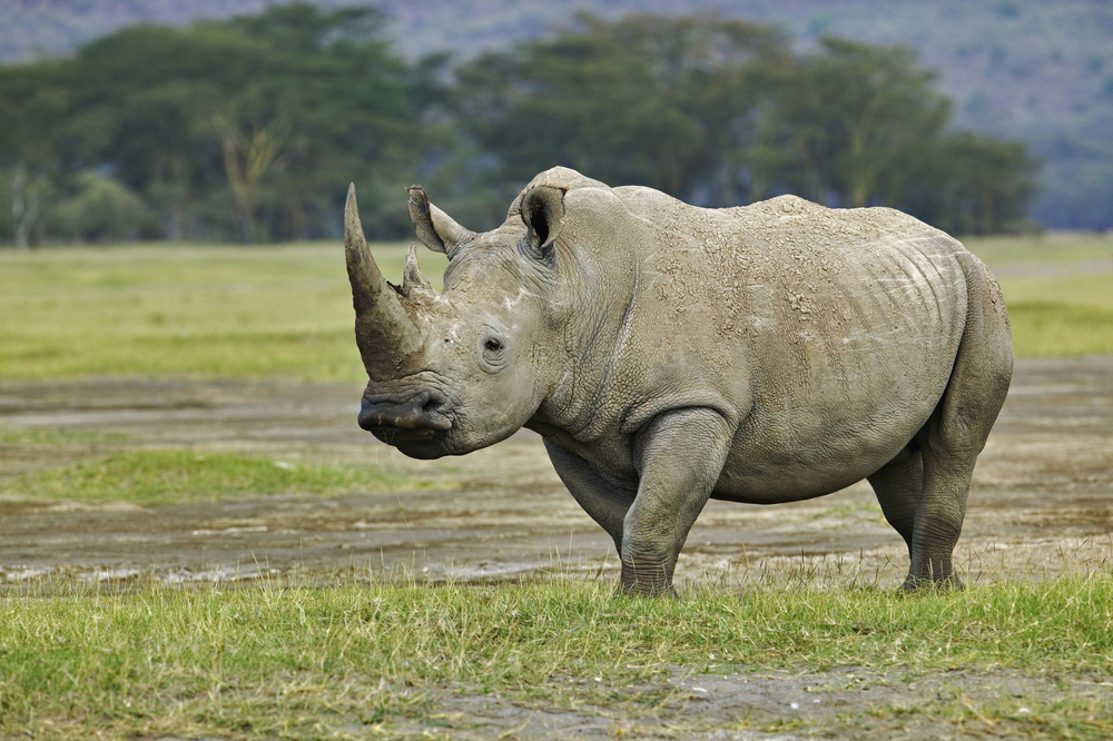 The majestic White Rhino, Kenya
