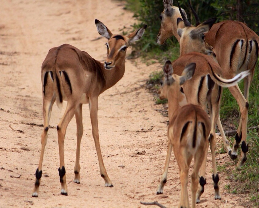 Impalas, with their distinctive 'M' marking on their behinds
