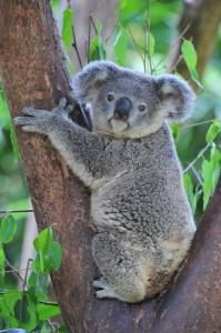 Australia Koala_145270666