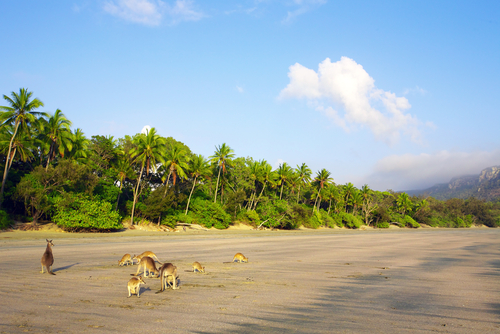 Some Kangaroo's on the Whitsunday Islands, Queensland, Australia