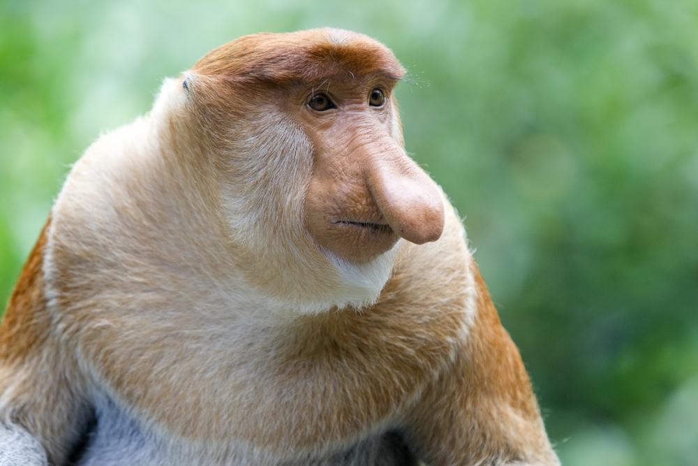A rare proboscis monkey