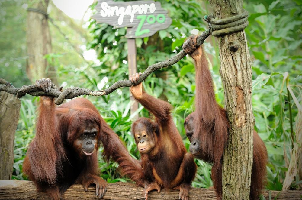 Orangutans in Singapore Zoo
