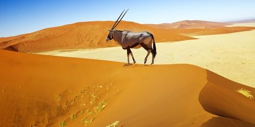 An oryx (gemsbok) in Namibia