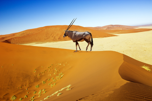 An oryx (gemsbok) in Namibia