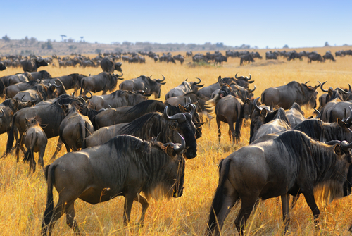The great migration in the Masai Mara