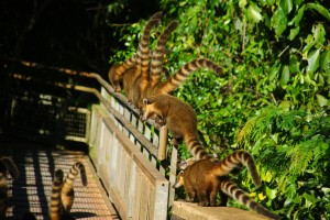 Coati's, up to no good.