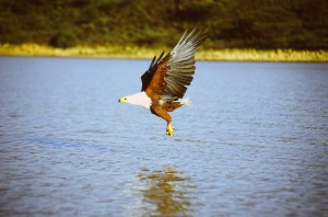 African_fish_eagle_above_water