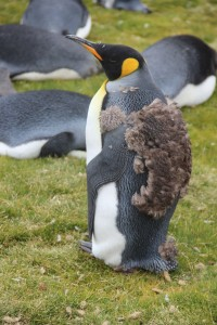 A Young King Penguin who hasn't fully moulted