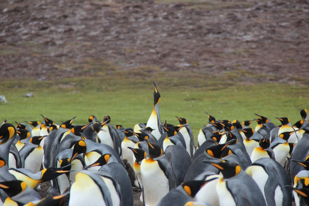 Falkland King_1352