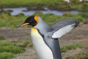 Falklands King_1315