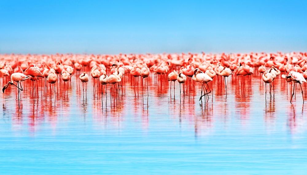 Flamingo Birds in the Lake Nakuru, Kenya