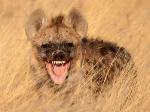 A Laughing Hyena
