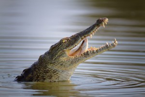 Nile crocodile swallowing a fish in Kruger National Park
