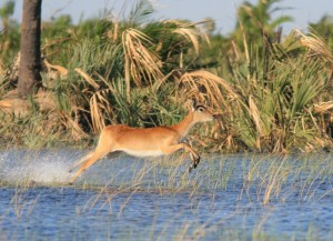 A Red Lechwe skimming over water