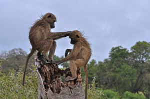 Two Chacma Baboons Grooming in Kruger National Park