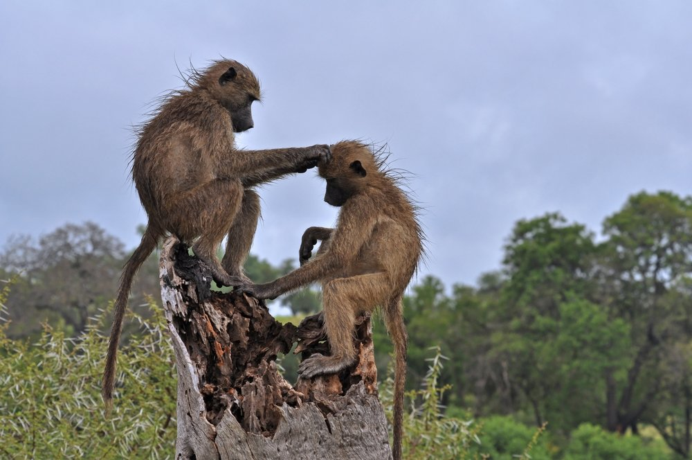 Two wild chacma baboons grooming in Kruger Park, South Africa