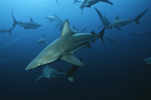 Black Tip Sharks at Aliwol Shoal, South Africa