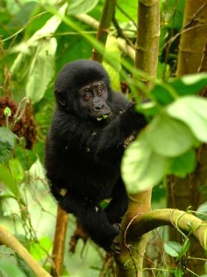 A baby mountain gorilla, Uganda