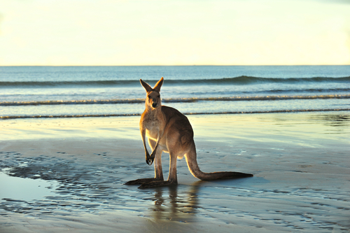 Not many travellers make it this far north! A Kangaroo in Northern Queensland.