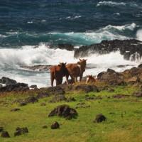 Rapa Nui has tons of horses roaming around