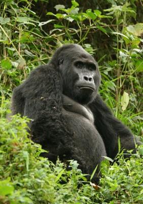 An Ugandan Gorilla