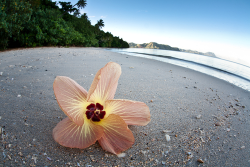 Islands-Fiji-Hibiscus-Flower-Beach_130827332