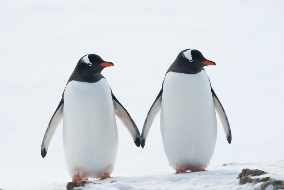 Penguins-Antarctica-Gentoo-120163156