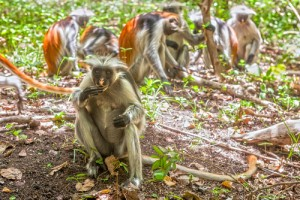 Red Colobus Monkeys, Zanzibar