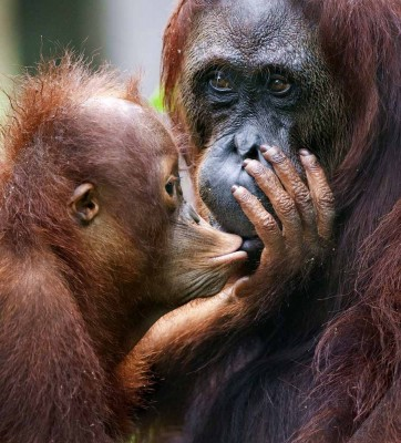 A female of the orangutan with a cub