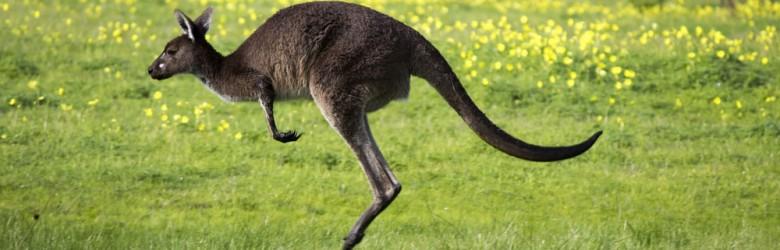 An Australian brown kangaroo