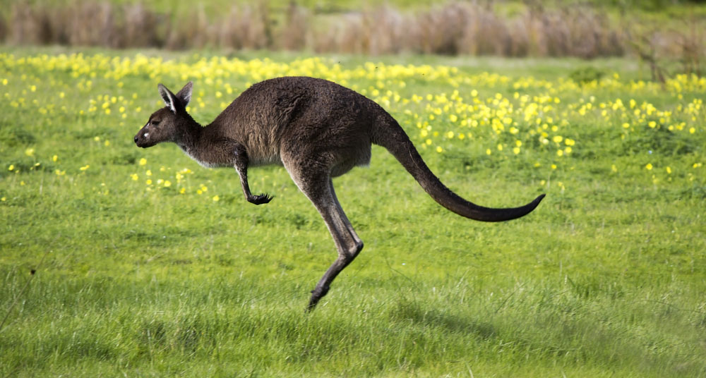 An Australian brown kangaroo