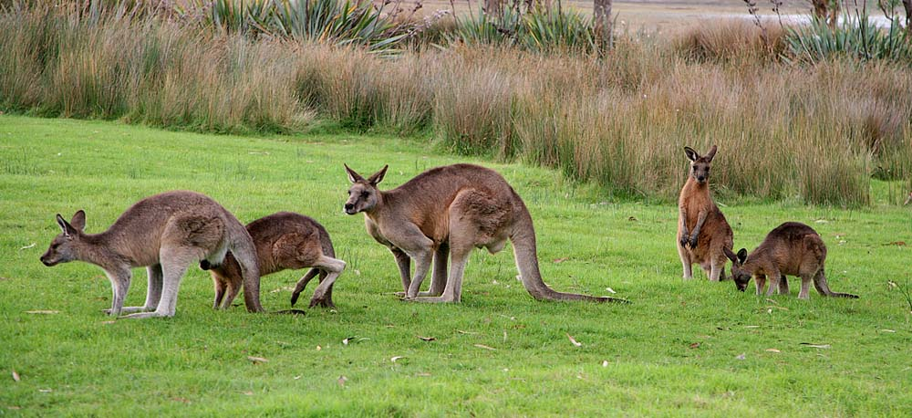 Australian kangaroos on grass