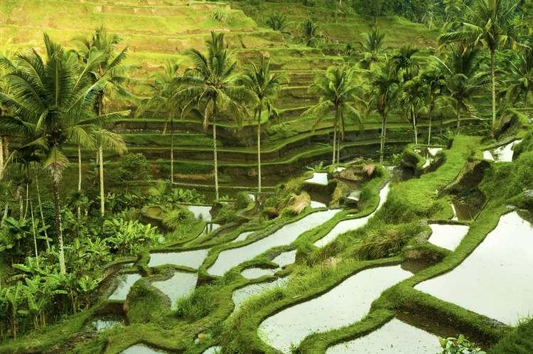 Sunrise over Terrace Rice Fields in Ubud, Bali