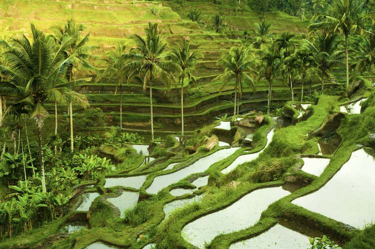 Sunrise over Terrace Rice Fields in Ubud, Bali