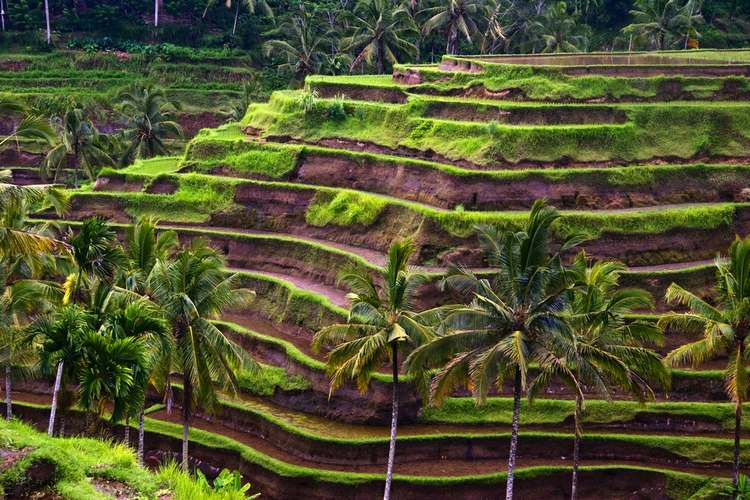 Rice Terraces, Bali