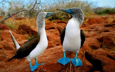Blue-footed boobie, Galapagos Islands, Ecuador