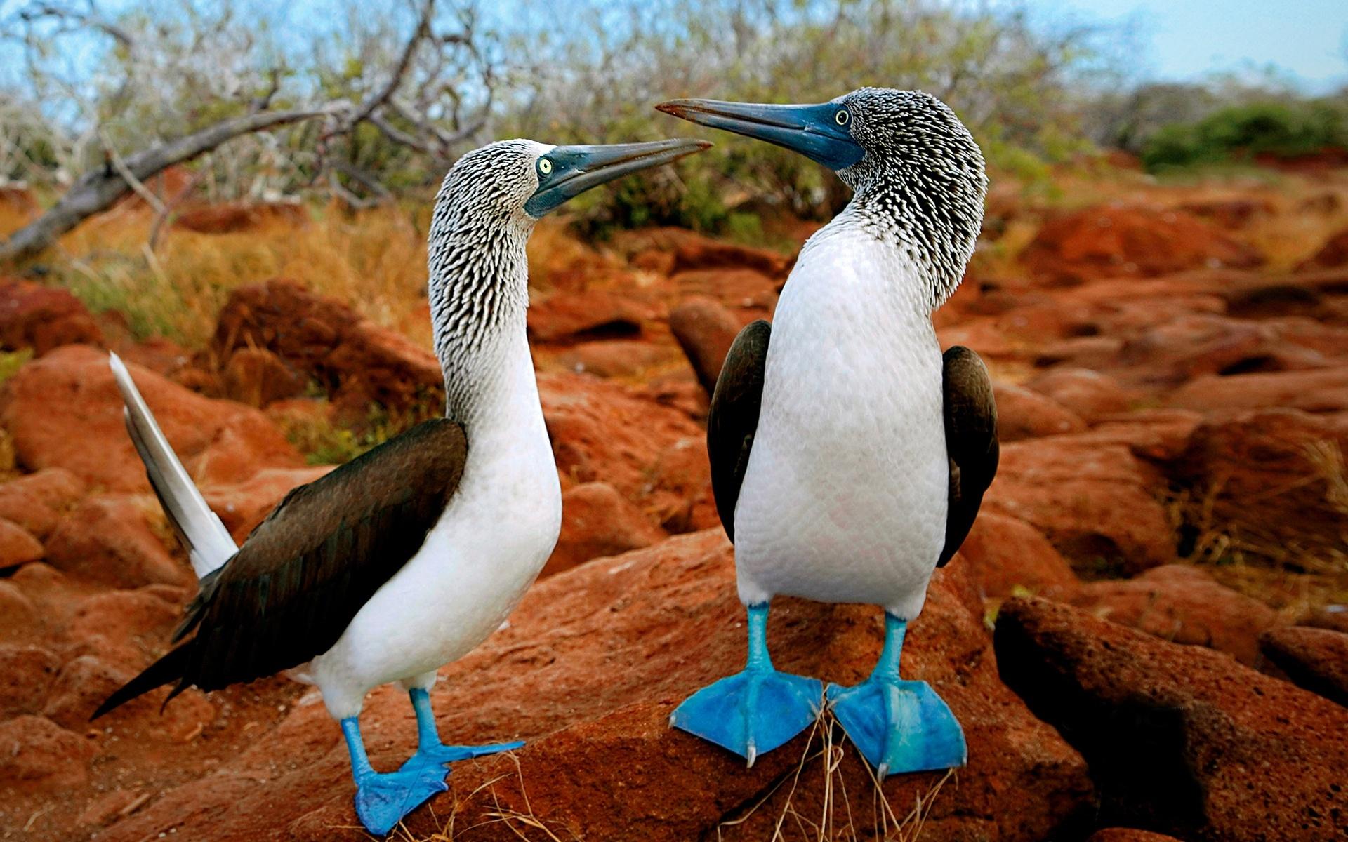 Blue-footed boobie, Galapagos Islands, Ecuador