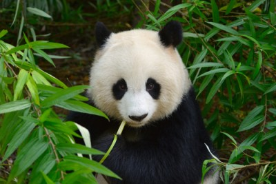 A Giant Panda in Chengdu